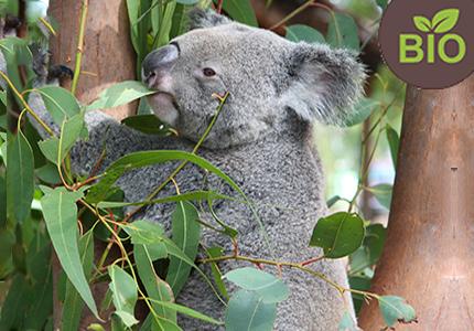 evkaliptus
