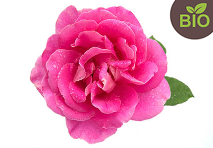 rosa-damascena-211