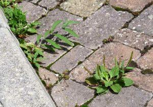 plevel med tlakovci